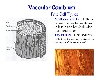 Vascular+Cambium+Two+Cell+Types