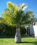 Bottle_Palm_Tree_450_MAIN