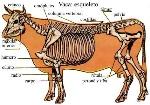 endosqueleto vaca