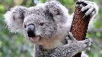 marsupiales-australianos-curiosidades-koalas-620x349