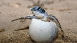 animales-oviparos-la-tortuga