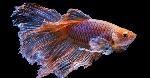 pez-betta-cuidados-mantenimiento