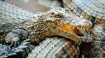 caracteristicas-generales-de-los-cocodrilos