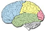 lobulos-cerebrales-500x343