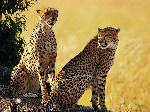 cheetah-brothers-wallpapers_9166_1024x768