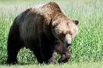 Brown_bear-800x534