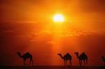 por-que-los-camellos-tienen-joroba-1