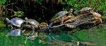 водни костенурки1