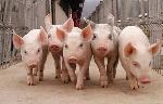 свиноводство-как-бизнес-идея