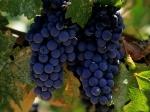 vinograd-siniy-300x225