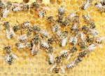 280px-Buckfast_bee