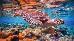 bigstock-hawksbill-turtle-eretmochely-85912022
