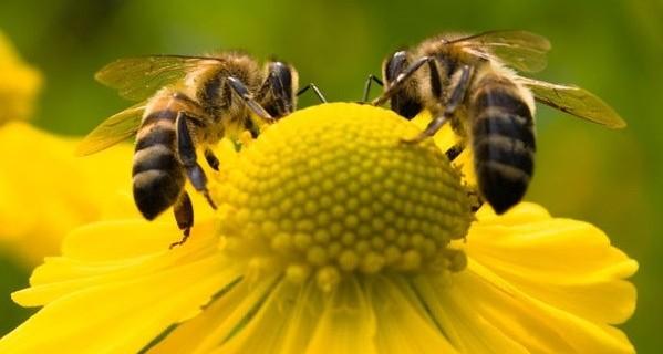 Abelhas+abelhas-599x320