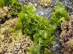 sea_lettuce_4