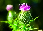 the-thistle-paul-howarth