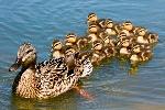 Mallard-family