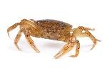 Crab001