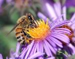 European-honey-bee-extracts-nectar