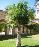 pokok pamla