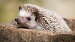 hedgehog-closeup.adapt.945.1