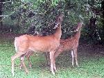 White-tailed_deer_(Odocoileus_virginianus)_grazing_-_20050809