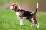 Beagle-main