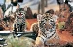 expertos-compararon-el-genoma-de-un-tigre-de-corea-del-sur-con-los-del-tigre-blanco-de-bengala-_595_381_223135
