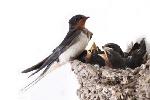 гнездо малки майка
