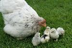 кокош пиленц