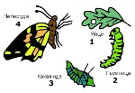 разв пеперуда2