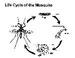 Mosquito Lifecycle