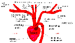 cat arteries upper thoracic cavity