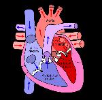 cuore internamente