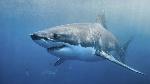 tiburon-nadando