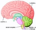 sistema nervios central
