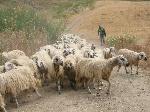Pecore Siciliane