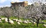 Mandorli siciliani