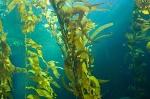 BioSystems-Kelp