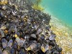BioSystems-Mussel