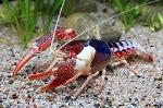 BioSystems-Crayfish