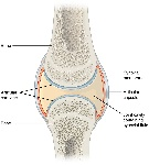 907_Synovial_Joints
