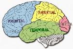 Esquema-lóbulos-del-cerebro-640x439