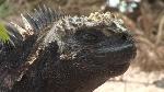423945680-iguana-marina-galapagos-rociar-rociadura