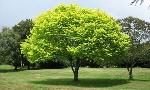 5-árboles-de-sombra-de-rápido-crecimiento