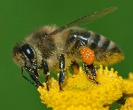 Apis_mellifera_Western_honey_bee