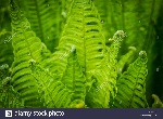 ferns-unrolling-a-young-frond-in-isabella-plantation-within-richmond-K2N665
