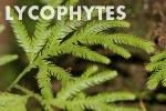 lycophyte4