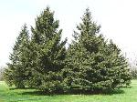 spruce_white_1sh30_042012_640x480