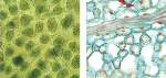 chloroplast in hornworts