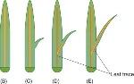 lycophytes 3